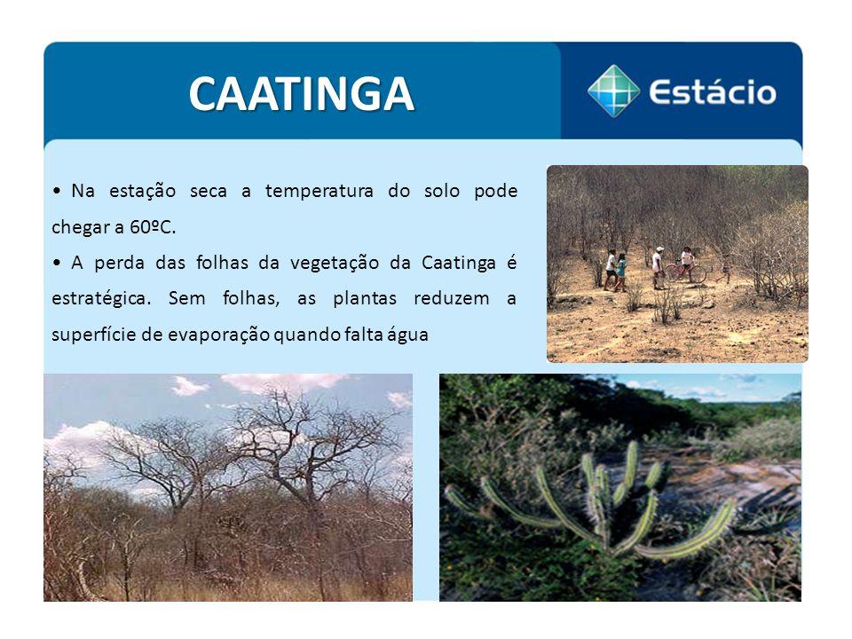 Na estação seca a temperatura do solo pode chegar a 60ºC. A perda das folhas da vegetação da Caatinga é estratégica. Sem folhas, as plantas reduzem a