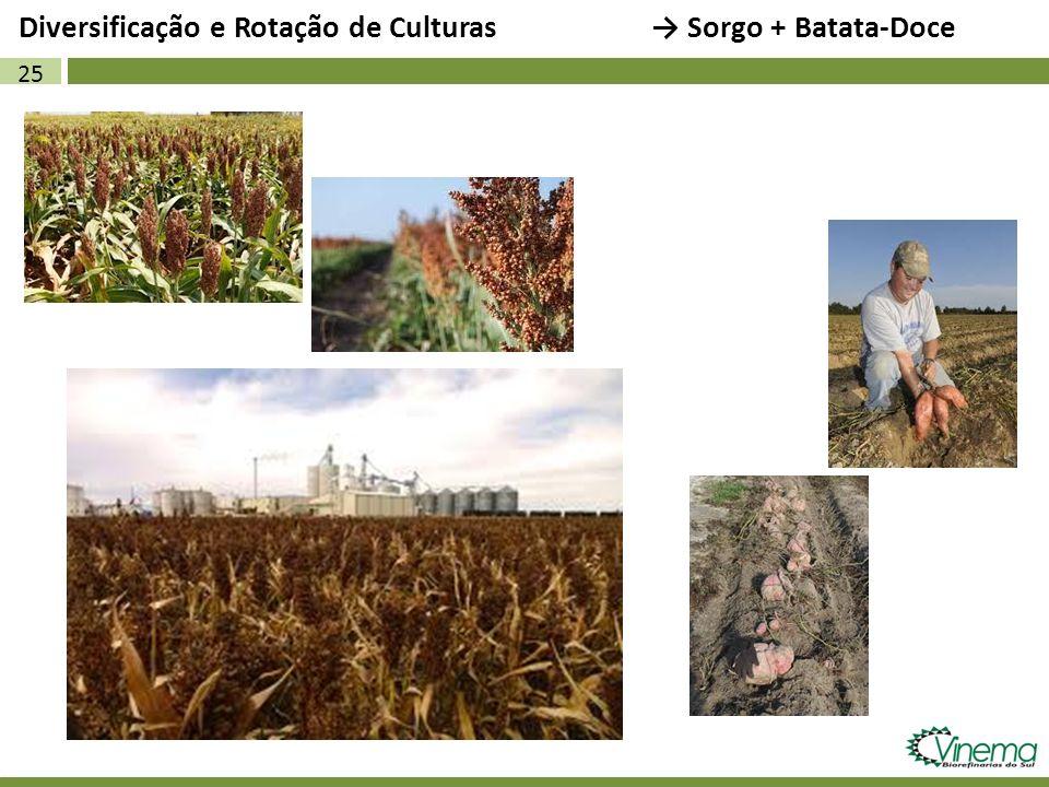 25 Diversificação e Rotação de Culturas Sorgo + Batata-Doce