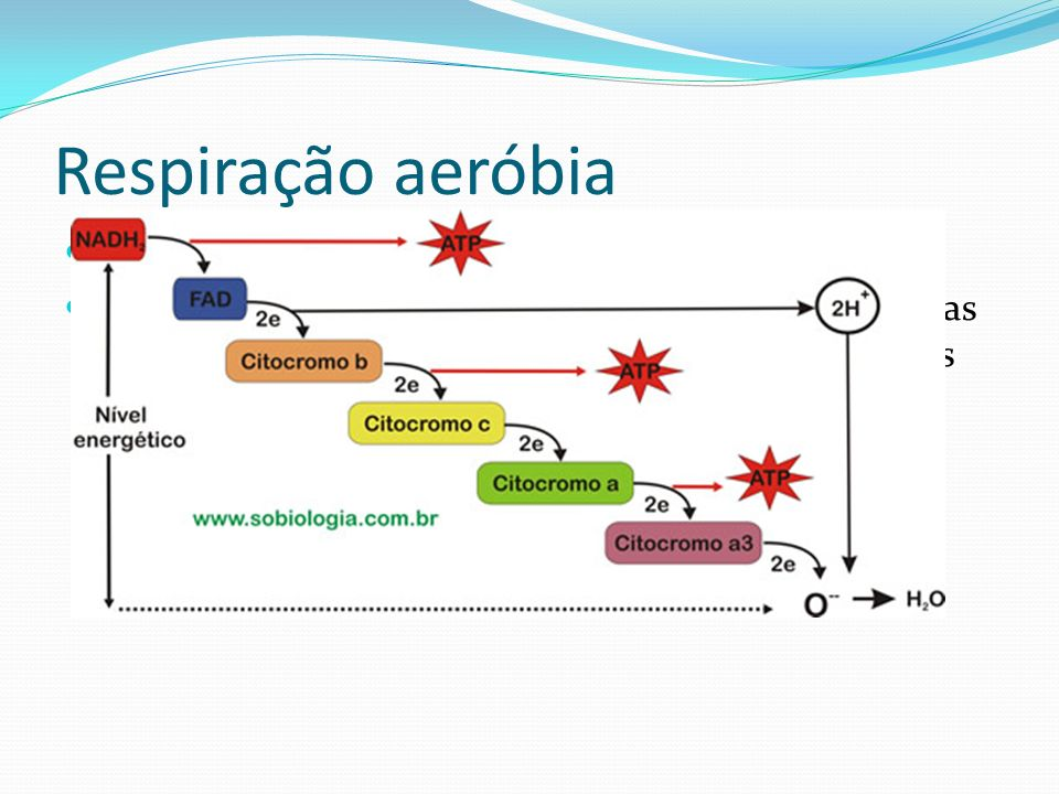 Respiração aeróbia Cadeia respiratória: NADH 2 e FADH 2 : trazem hidrogênio para substâncias intermediárias (citocromos) que levam seus elétrons até o O 2.