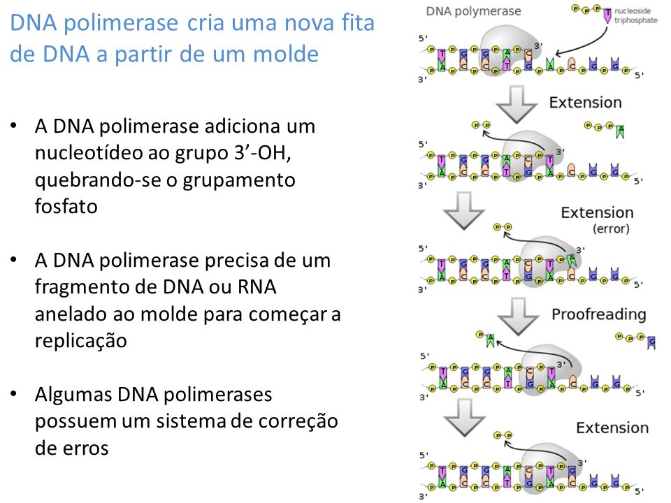 DNA polimerase cria uma nova fita de DNA a partir de um molde A DNA polimerase adiciona um nucleotídeo ao grupo 3-OH, quebrando-se o grupamento fosfato A DNA polimerase precisa de um fragmento de DNA ou RNA anelado ao molde para começar a replicação Algumas DNA polimerases possuem um sistema de correção de erros