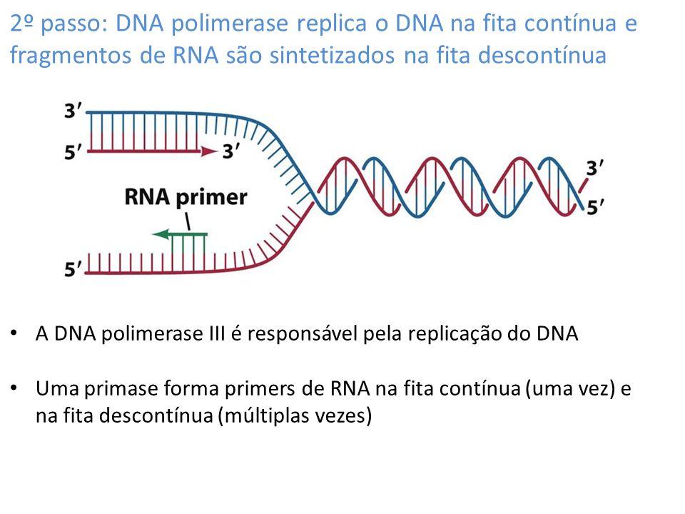 2º passo: DNA polimerase replica o DNA na fita contínua e fragmentos de RNA são sintetizados na fita descontínua A DNA polimerase III é responsável pela replicação do DNA Uma primase forma primers de RNA na fita contínua (uma vez) e na fita descontínua (múltiplas vezes)