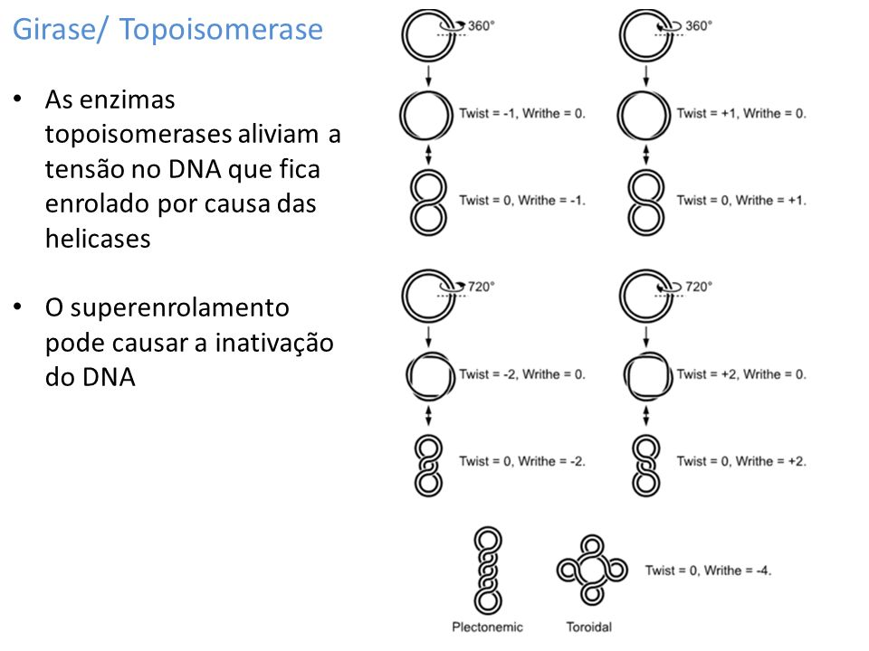 Girase/ Topoisomerase As enzimas topoisomerases aliviam a tensão no DNA que fica enrolado por causa das helicases O superenrolamento pode causar a inativação do DNA