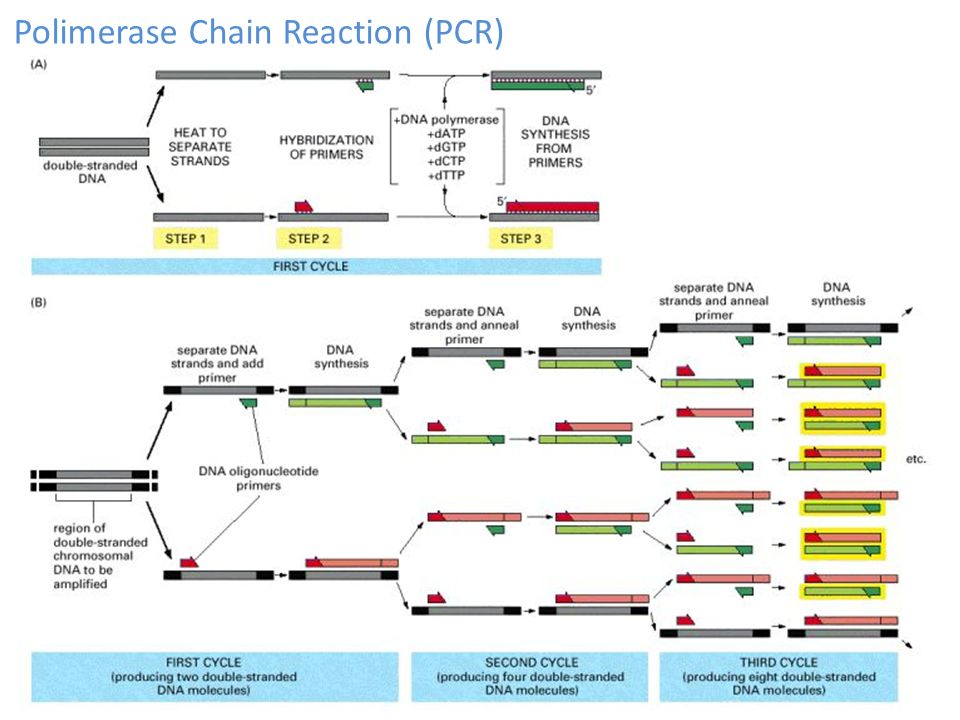 Polimerase Chain Reaction (PCR)