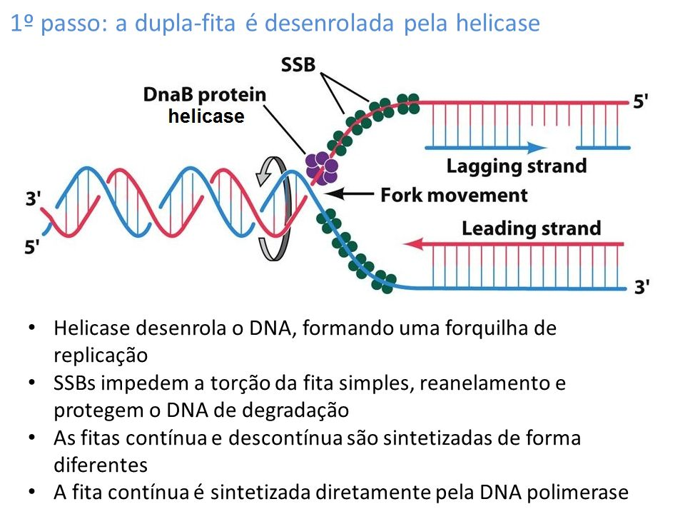 Polimerase Chain Reaction (PCR) Parque Yellowstone: poças de lama em ponto de ebulição Thermus aquaticus Vive de 55 o C a 80 o C Como será que funciona a sua DNA polimerase?
