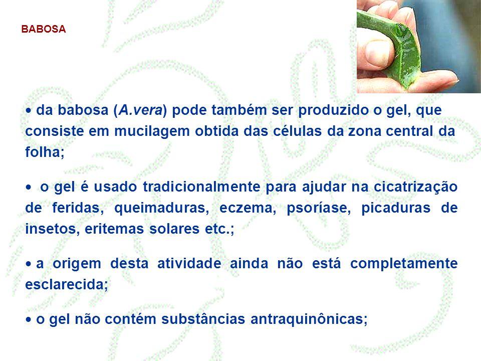 BABOSA da babosa (A.vera) pode também ser produzido o gel, que consiste em mucilagem obtida das células da zona central da folha; o gel é usado tradic