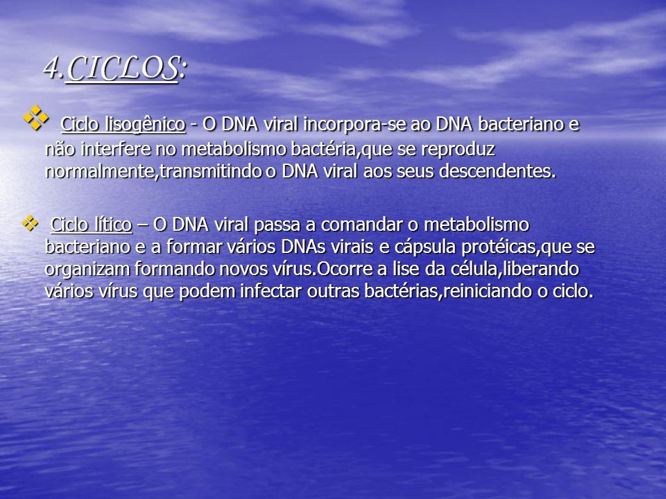 4.CICLOS: Ciclo lisogênico - O DNA viral incorpora-se ao DNA bacteriano e não interfere no metabolismo bactéria,que se reproduz normalmente,transmitin
