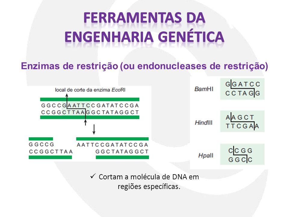 Enzimas de restrição (ou endonucleases de restrição) Cortam a molécula de DNA em regiões específicas.