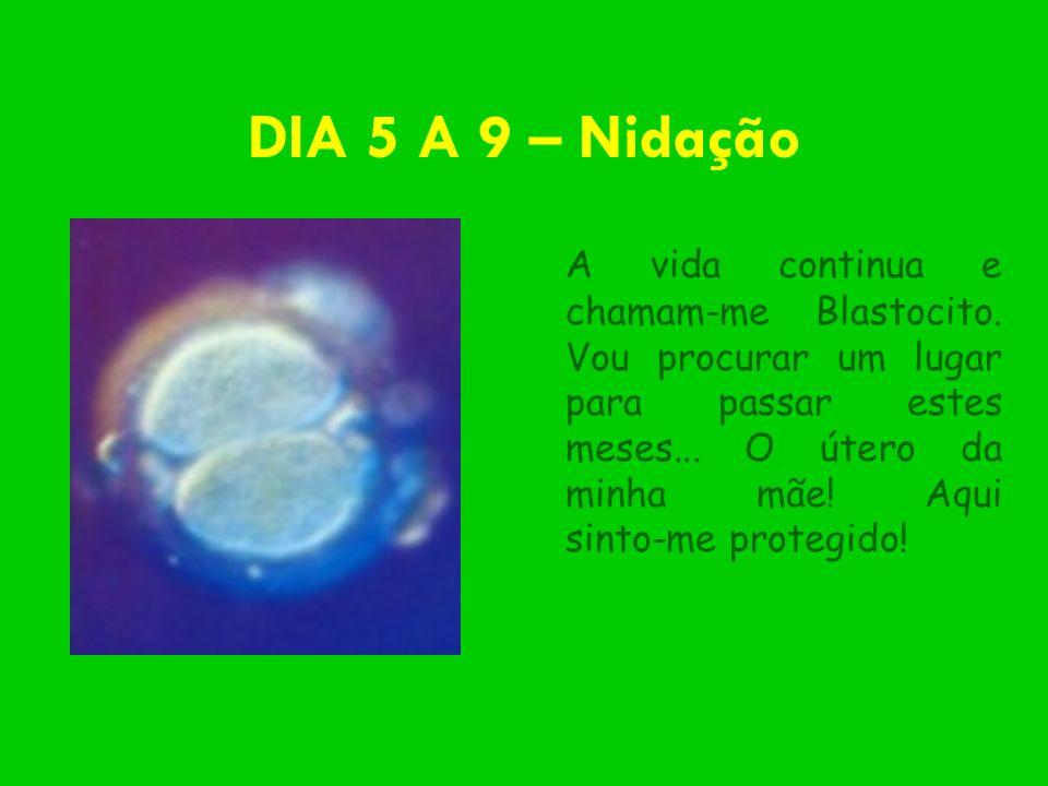 DIA 5 A 9 – Nidação A vida continua e chamam-me Blastocito. Vou procurar um lugar para passar estes meses... O útero da minha mãe! Aqui sinto-me prote