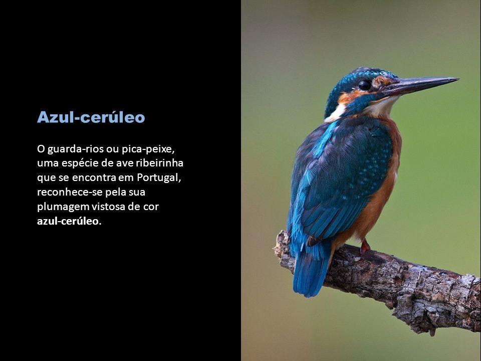Azul-cerúleo O guarda-rios ou pica-peixe, uma espécie de ave ribeirinha que se encontra em Portugal, reconhece-se pela sua plumagem vistosa de cor azul-cerúleo.