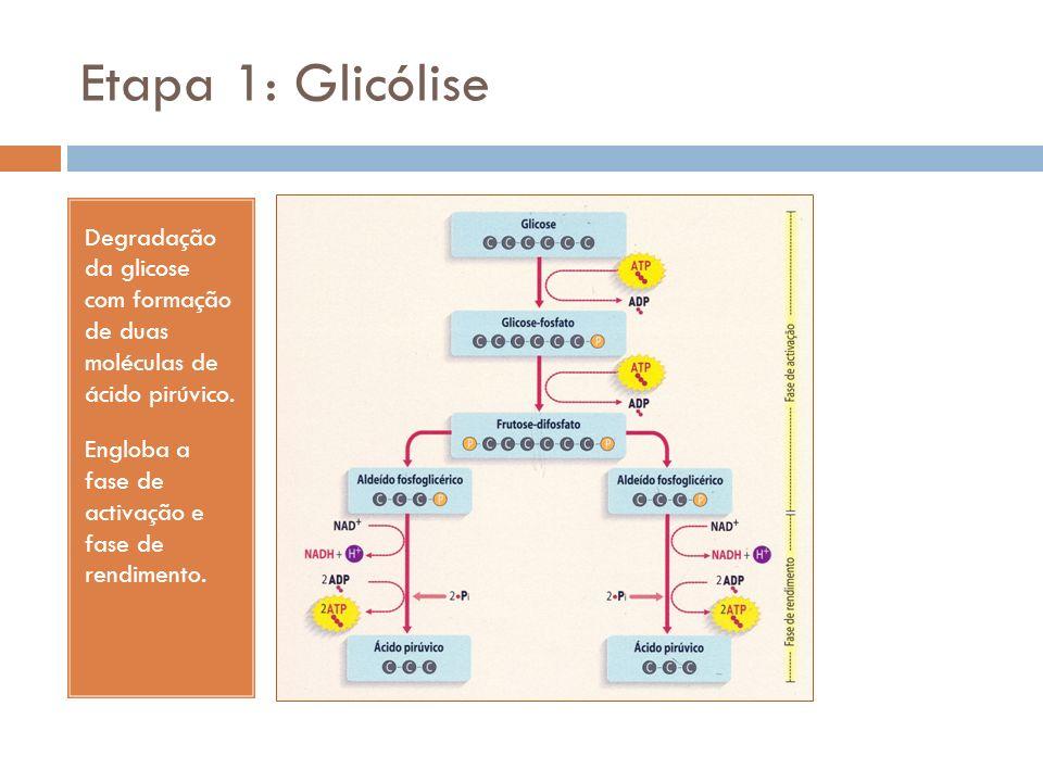 Etapa 1: Glicólise Degradação da glicose com formação de duas moléculas de ácido pirúvico. Engloba a fase de activação e fase de rendimento.