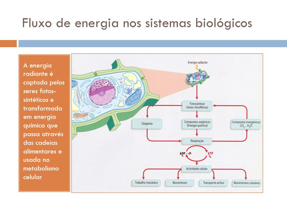 Fluxo de energia nos sistemas biológicos A energia radiante é captada pelos seres fotos- sintéticos e transformada em energia química que passa através das cadeias alimentares e usada no metabolismo celular