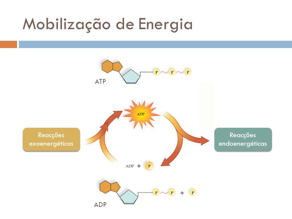 Metabolismo Reacções que conduzem à síntese de moléculas complexas a partir de outras mais simples Endoenergéticas Reacções de degradação de moléculas complexas noutras mais simples Exoenergéticas AnabolismoCatabolismo