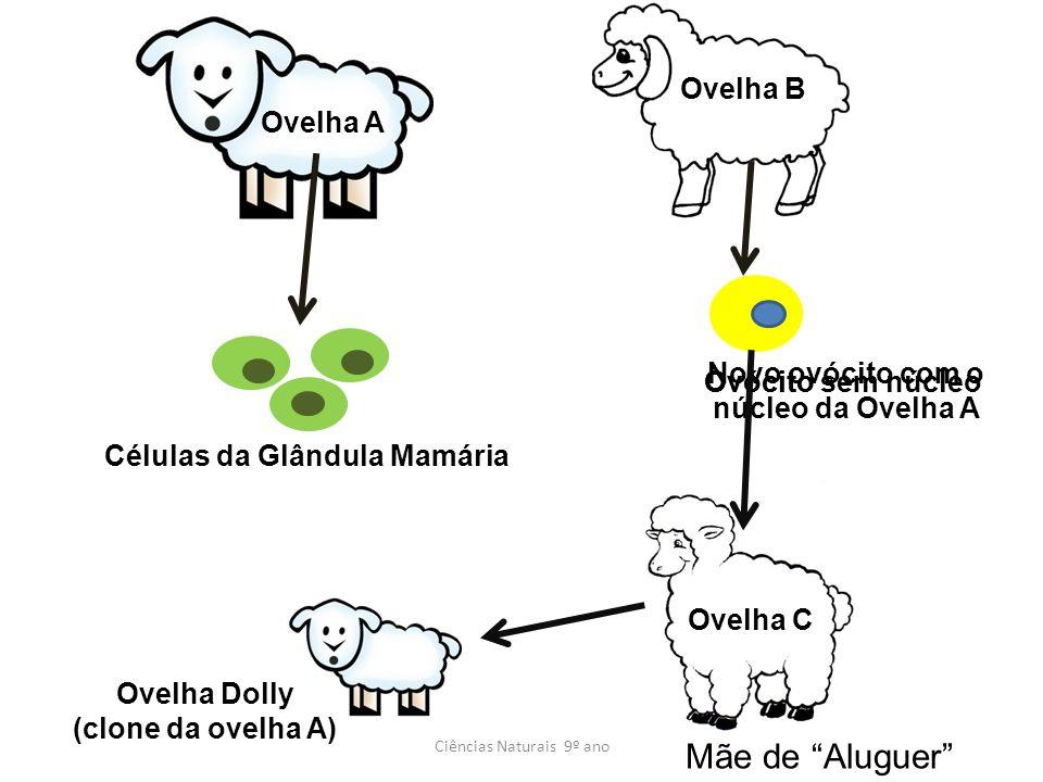 Ovelha C Ciências Naturais 9º ano Ovelha A Ovelha B Células da Glândula Mamária OvócitoOvócito sem núcleo Novo ovócito com o núcleo da Ovelha A Mãe de