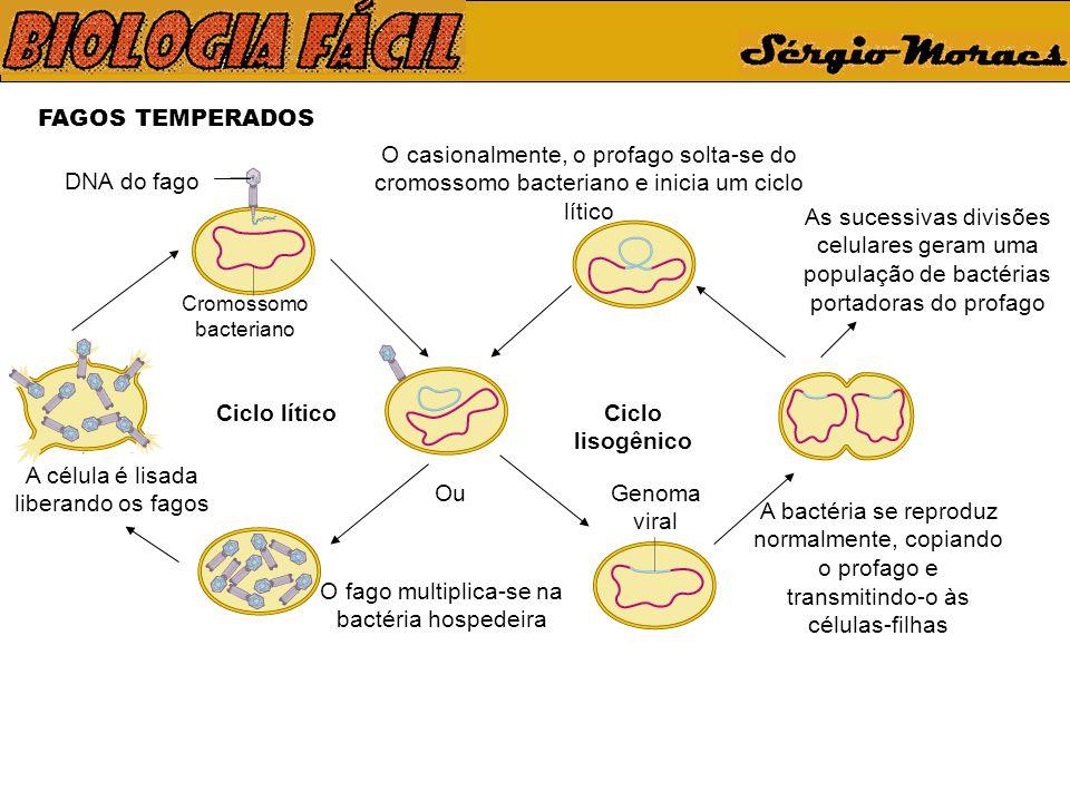 FAGOS TEMPERADOS DNA do fago Cromossomo bacteriano Ciclo líticoCiclo lisogênico O fago multiplica-se na bactéria hospedeira O casionalmente, o profago solta-se do cromossomo bacteriano e inicia um ciclo lítico A célula é lisada liberando os fagos A bactéria se reproduz normalmente, copiando o profago e transmitindo-o às células-filhas Ou As sucessivas divisões celulares geram uma população de bactérias portadoras do profago Genoma viral