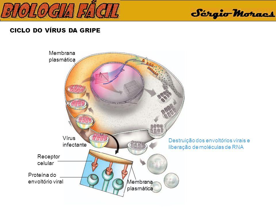 CICLO DO VÍRUS DA GRIPE Vírus infectante Membrana plasmática Receptor celular Proteína do envoltório viral Membrana plasmática Destruição dos envoltór