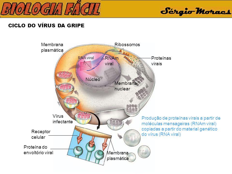 CICLO DO VÍRUS DA GRIPE Vírus infectante Membrana plasmática Receptor celular Proteína do envoltório viral Membrana plasmática Produção de proteínas virais a partir de moléculas mensageiras (RNAm viral) copiadas a partir do material genético do vírus (RNA viral) Ribossomos Proteínas virais Núcleo Membrana nuclear RNAm viral RNA viral