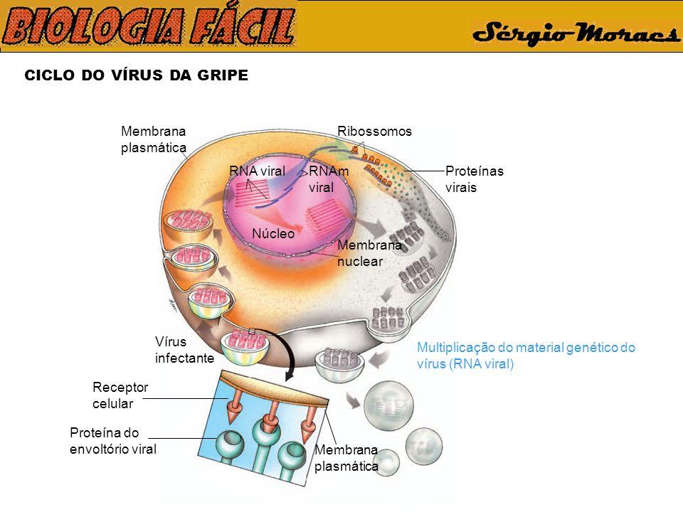 CICLO DO VÍRUS DA GRIPE Vírus infectante Membrana plasmática Receptor celular Proteína do envoltório viral Membrana plasmática Ribossomos Proteínas virais Núcleo Membrana nuclear RNAm viral RNA viral Multiplicação do material genético do vírus (RNA viral)