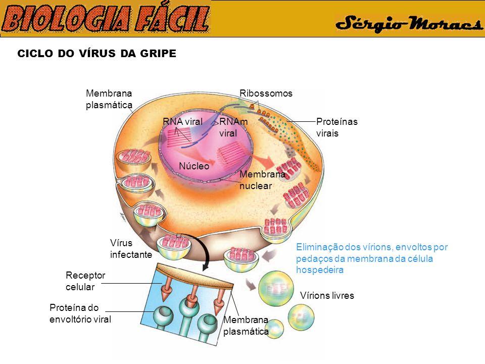 CICLO DO VÍRUS DA GRIPE Membrana plasmática Ribossomos Proteínas virais Membrana nuclear Vírions livres Eliminação dos vírions, envoltos por pedaços da membrana da célula hospedeira Membrana plasmática Receptor celular Vírus infectante Proteína do envoltório viral Núcleo RNA viralRNAm viral