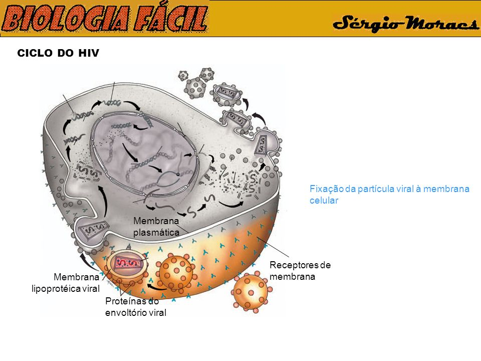 CICLO DO HIV Receptores de membrana Membrana plasmática Proteínas do envoltório viral Membrana lipoprotéica viral Fixação da partícula viral à membran