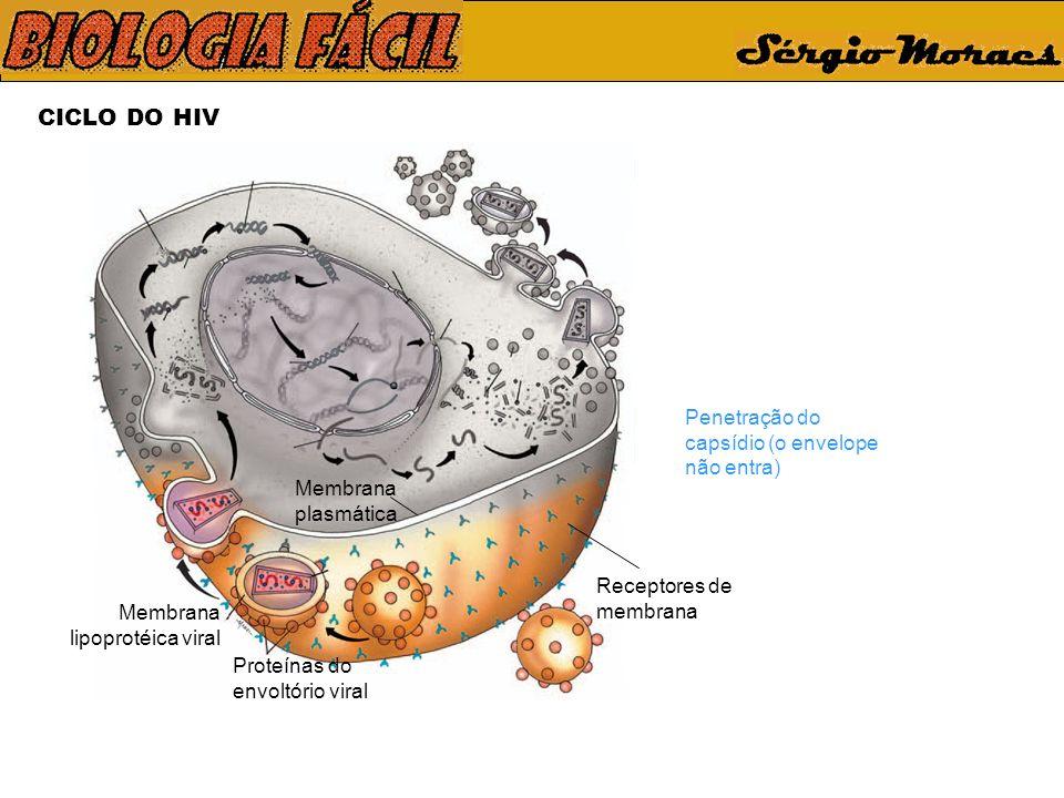 CICLO DO HIV Receptores de membrana Membrana plasmática Proteínas do envoltório viral Membrana lipoprotéica viral Penetração do capsídio (o envelope não entra)