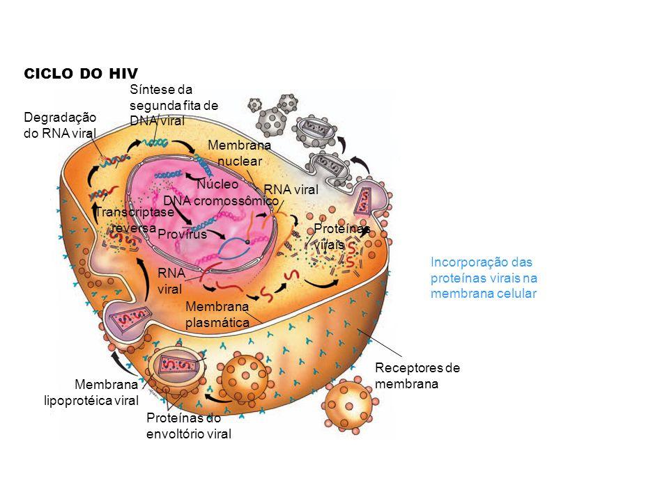 CICLO DO HIV Receptores de membrana Membrana plasmática Proteínas do envoltório viral Membrana lipoprotéica viral Síntese da segunda fita de DNA viral Degradação do RNA viral Transcriptase reversa Membrana nuclear Núcleo DNA cromossômico Provírus RNA viral Proteínas virais Incorporação das proteínas virais na membrana celular