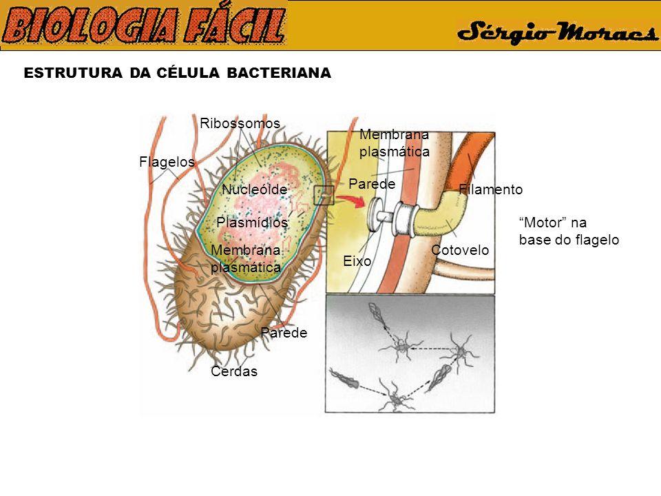 ESTRUTURA DA CÉLULA BACTERIANA Flagelos Ribossomos Nucleóide Plasmídios Membrana plasmática Parede Cerdas Motor na base do flagelo Filamento Cotovelo
