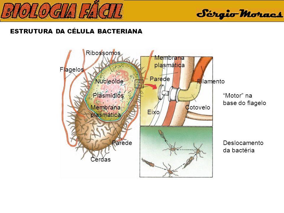 ESTRUTURA DA CÉLULA BACTERIANA Deslocamento da bactéria Motor na base do flagelo Ribossomos Cerdas Flagelos Membrana plasmática Nucleóide Plasmídios E