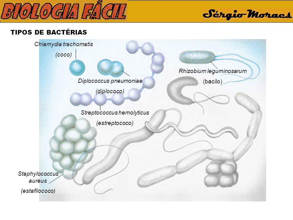 TIPOS DE BACTÉRIAS Chlamydia trachomatis (coco) Diplococcus pneumoniae (diplococo) Streptococcus hemolyticus (estreptococo) Staphylococcus aureus (estafilococo) Rhizobium leguminosarum (bacilo)