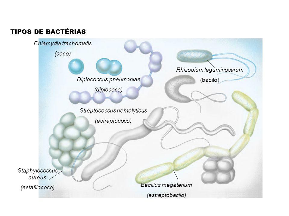 TIPOS DE BACTÉRIAS Chlamydia trachomatis (coco) Diplococcus pneumoniae (diplococo) Streptococcus hemolyticus (estreptococo) Staphylococcus aureus (estafilococo) Rhizobium leguminosarum (bacilo) Bacillus megaterium (estreptobacilo)