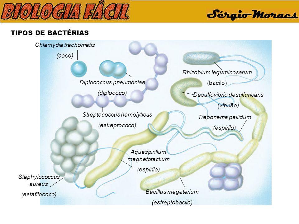 TIPOS DE BACTÉRIAS Chlamydia trachomatis (coco) Diplococcus pneumoniae (diplococo) Streptococcus hemolyticus (estreptococo) Staphylococcus aureus (estafilococo) Rhizobium leguminosarum (bacilo) Bacillus megaterium (estreptobacilo) Desulfovibrio desulfuricans (vibrião) Treponema pallidum (espirilo) Aquaspirillum magnetotactium (espirilo)