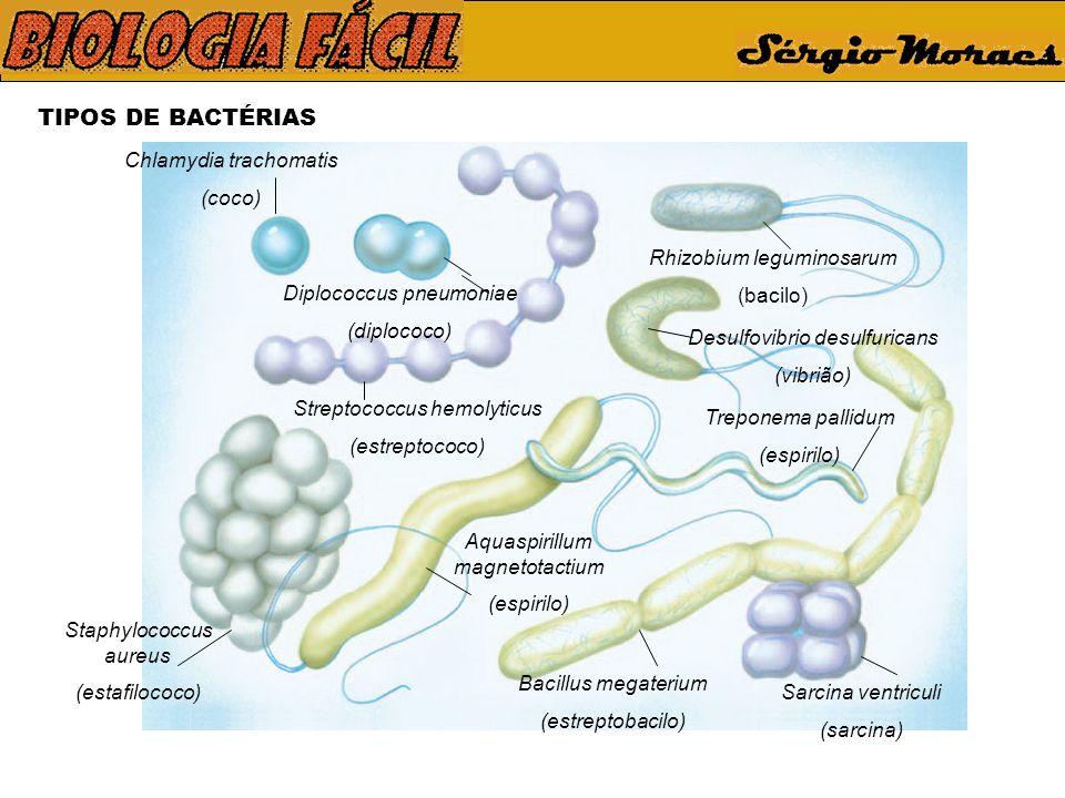 TIPOS DE BACTÉRIAS Chlamydia trachomatis (coco) Staphylococcus aureus (estafilococo) Diplococcus pneumoniae (diplococo) Streptococcus hemolyticus (estreptococo) Aquaspirillum magnetotactium (espirilo) Bacillus megaterium (estreptobacilo) Sarcina ventriculi (sarcina) Treponema pallidum (espirilo) Rhizobium leguminosarum (bacilo) Desulfovibrio desulfuricans (vibrião)