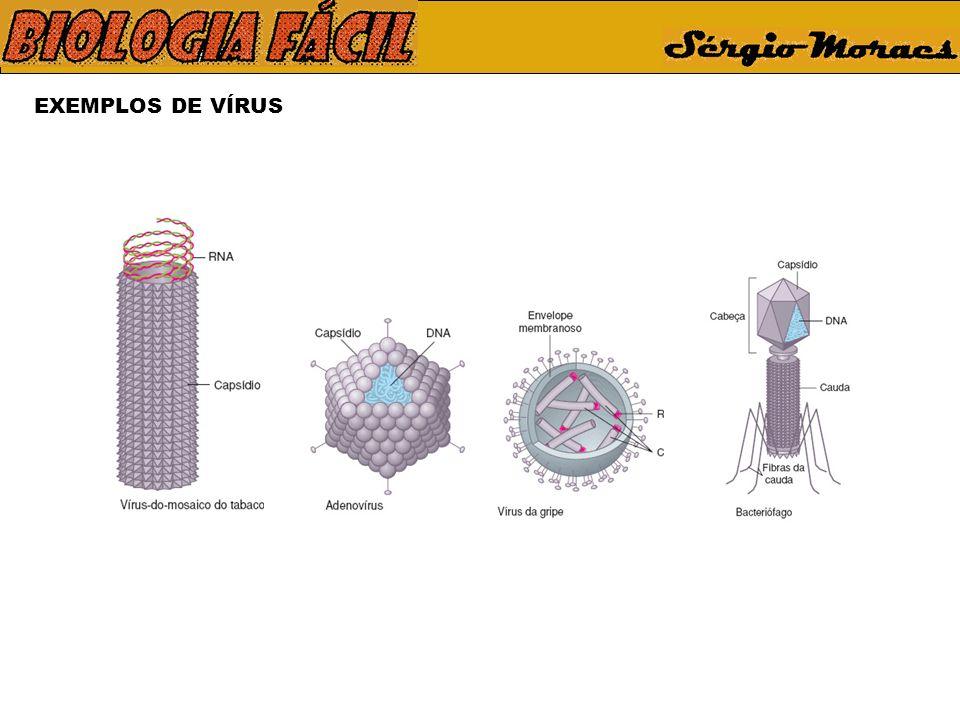 CICLO DO VÍRUS DA GRIPE Vírus infectante Membrana plasmática Receptor celular Proteína do envoltório viral Membrana plasmática Destruição dos envoltórios virais e liberação de moléculas de RNA