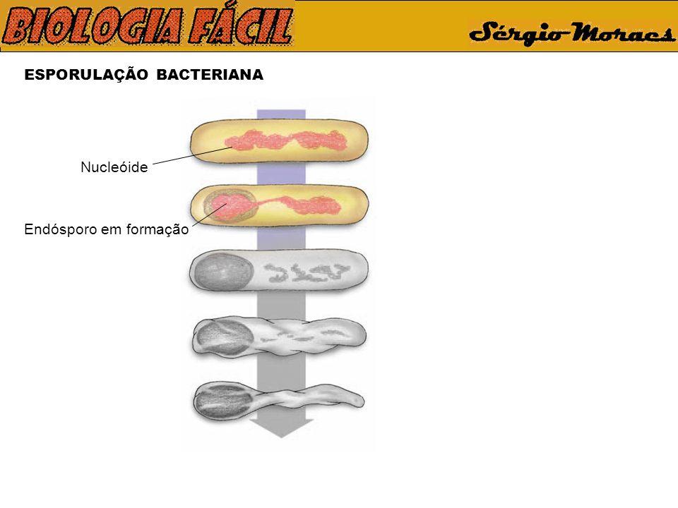 ESPORULAÇÃO BACTERIANA Nucleóide Endósporo em formação