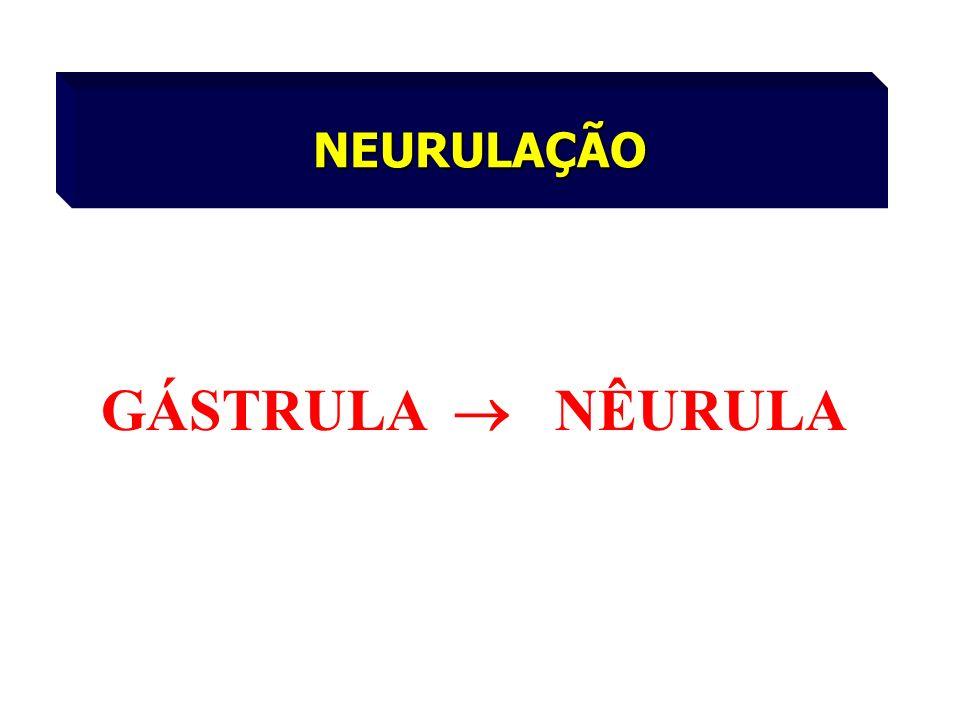 NEURULAÇÃO GÁSTRULA NÊURULA