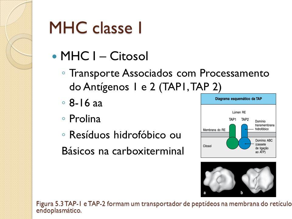 MHC classe I MHC I – Citosol Transporte Associados com Processamento do Antígenos 1 e 2 (TAP1, TAP 2) 8-16 aa Prolina Resíduos hidrofóbico ou Básicos