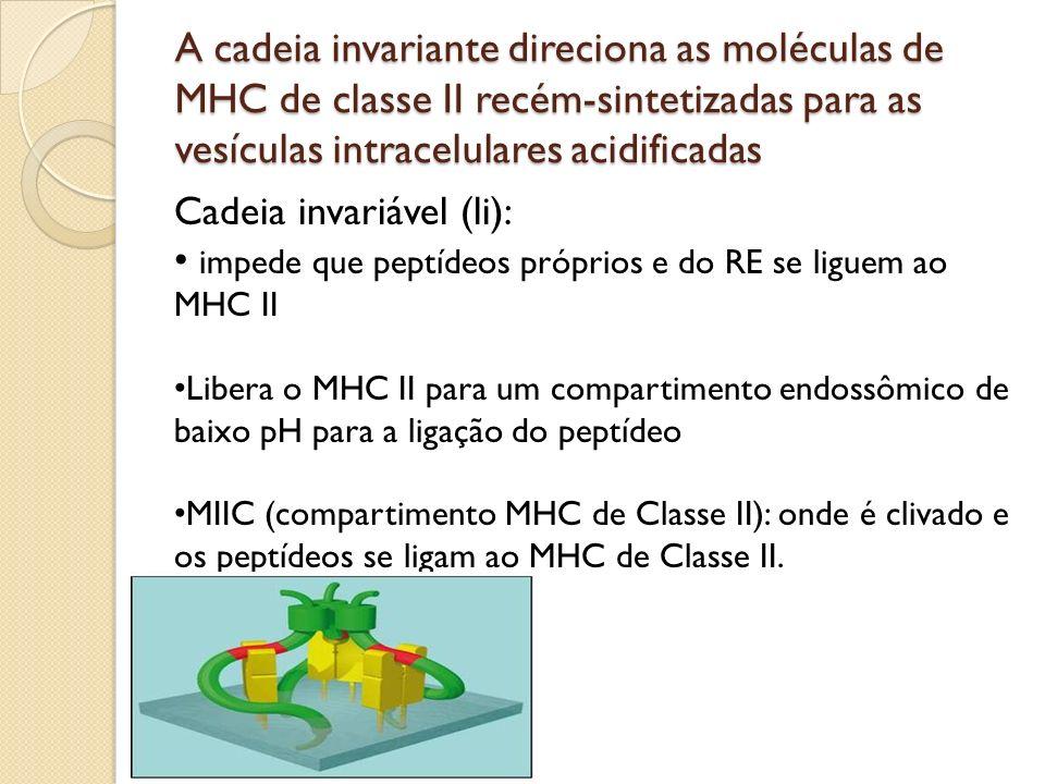 A cadeia invariante direciona as moléculas de MHC de classe II recém-sintetizadas para as vesículas intracelulares acidificadas Cadeia invariável (li)