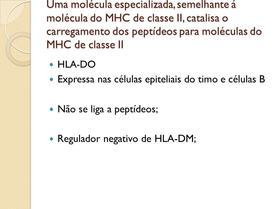 HLA-DO Expressa nas células epiteliais do timo e células B Não se liga a peptídeos; Regulador negativo de HLA-DM;