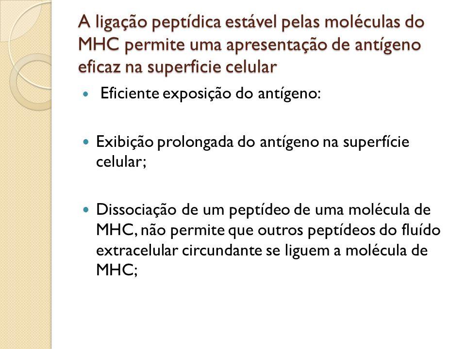 A ligação peptídica estável pelas moléculas do MHC permite uma apresentação de antígeno eficaz na superficie celular Eficiente exposição do antígeno: