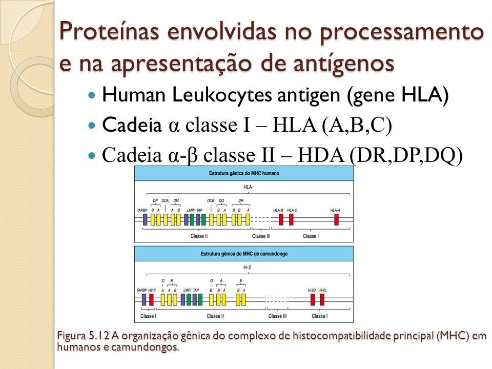 Proteínas envolvidas no processamento e na apresentação de antígenos Human Leukocytes antigen (gene HLA) Cadeia α classe I – HLA (A,B,C) Cadeia α-β cl