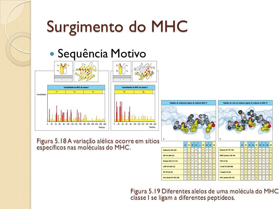 Sequência Motivo Surgimento do MHC Figura 5.19 Diferentes alelos de uma molécula do MHC classe I se ligam a diferentes peptídeos. Figura 5.18 A variaç
