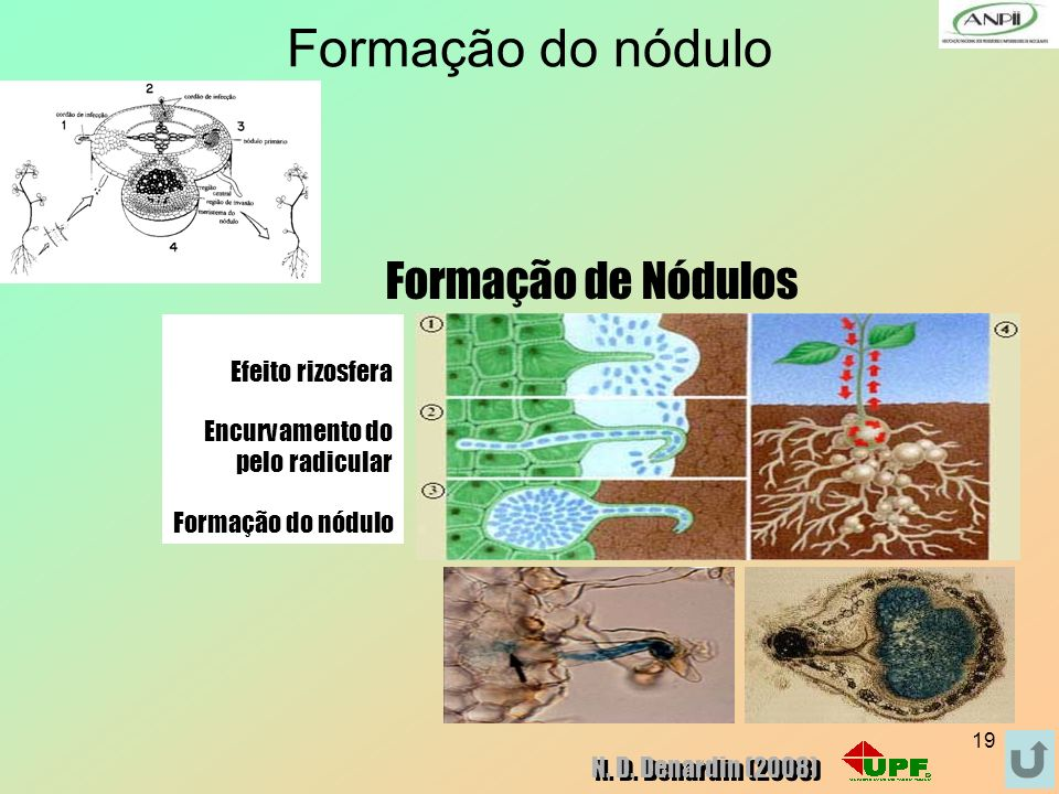 19 Formação do nódulo Efeito rizosfera Encurvamento do pelo radicular Formação do nódulo Formação de Nódulos N. D. Denardin (2008)