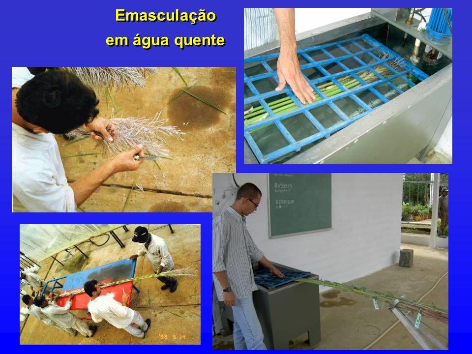 Emasculação em água quente Emasculação em água quente