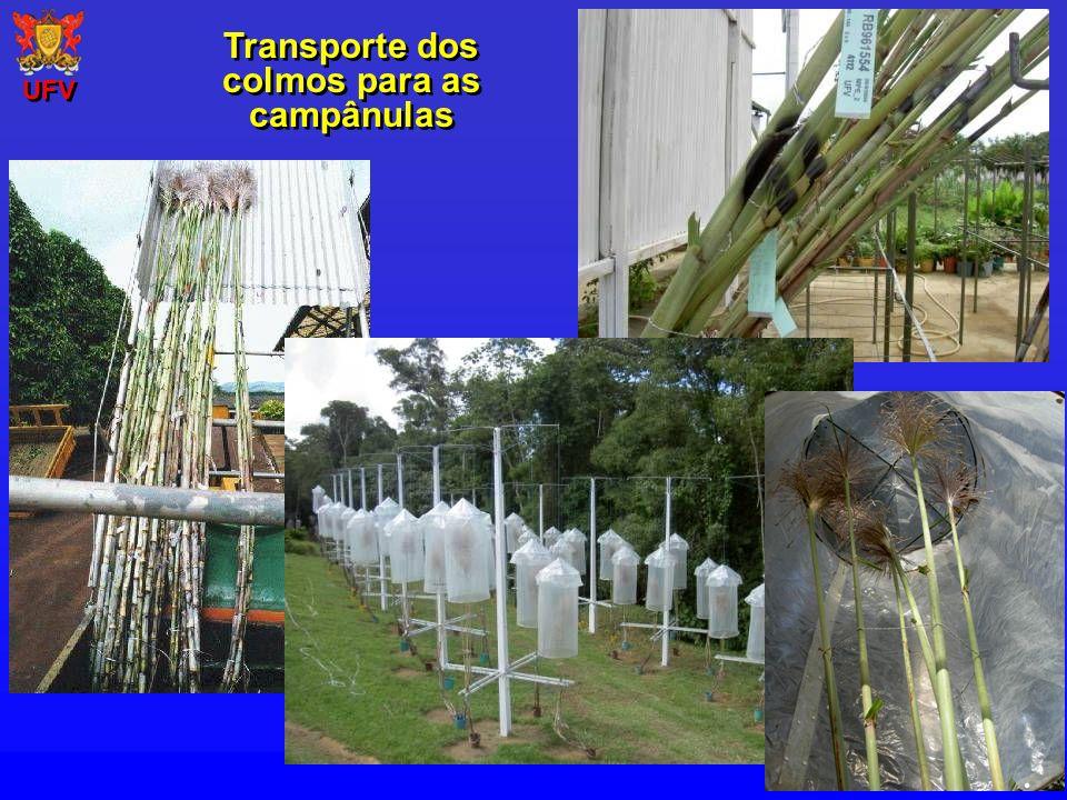 Transporte dos colmos para as campânulas UFV