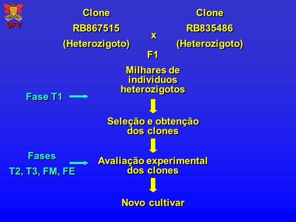 Clone RB867515 (Heterozigoto) Clone RB867515 (Heterozigoto) Clone RB835486 (Heterozigoto) Clone RB835486 (Heterozigoto) x x F1 Milhares de indivíduos