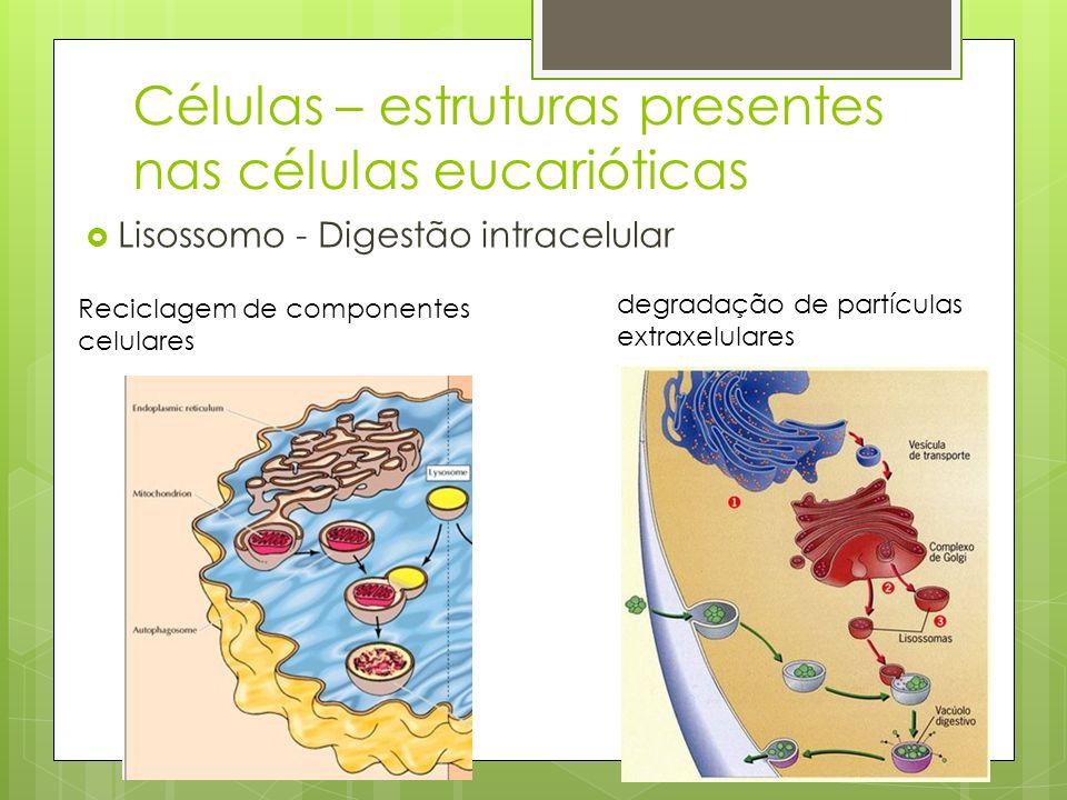Lisossomo - Digestão intracelular Células – estruturas presentes nas células eucarióticas degradação de partículas extraxelulares Reciclagem de compon