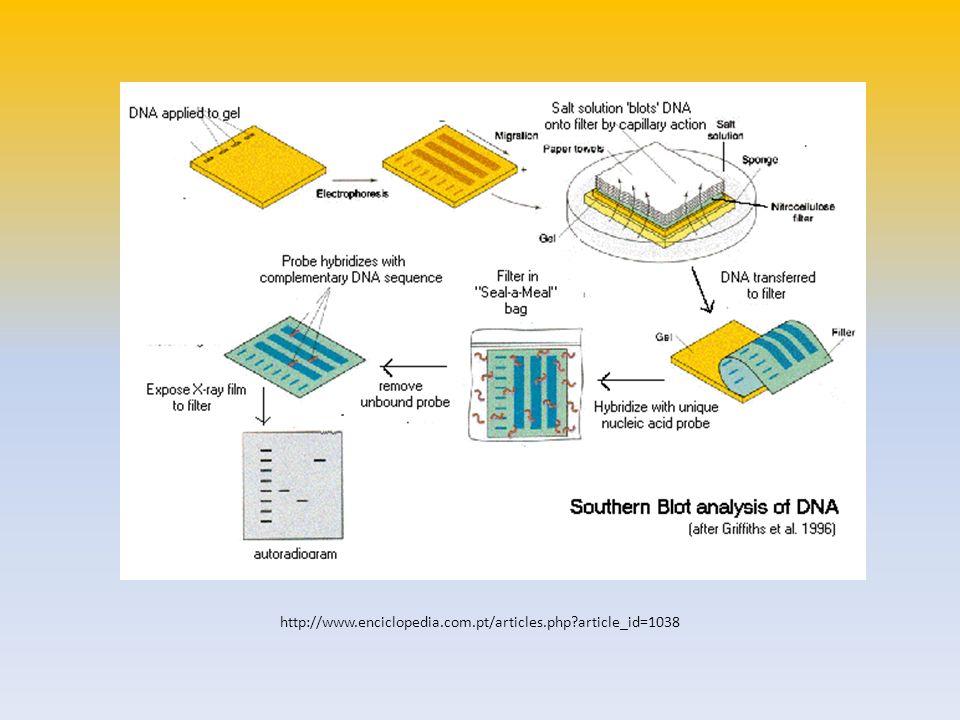 Northern blot O Northern blot estuda o perfil de expressão de RNA mensageiro, onde, quando e quanto de determinado RNA mensageiro (correspondente à expressão de um determinado gene) está presente numa dada amostra.