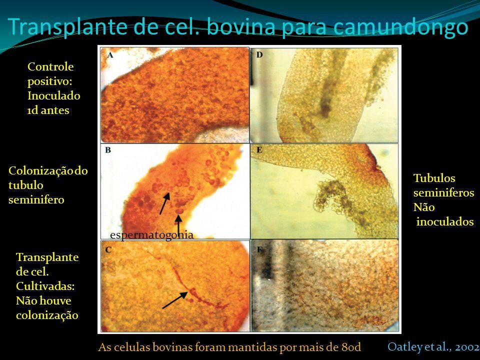Transplante de cel. bovina para camundongo Tubulos seminiferos Não inoculados Controle positivo: Inoculado 1d antes Colonização do tubulo seminifero T