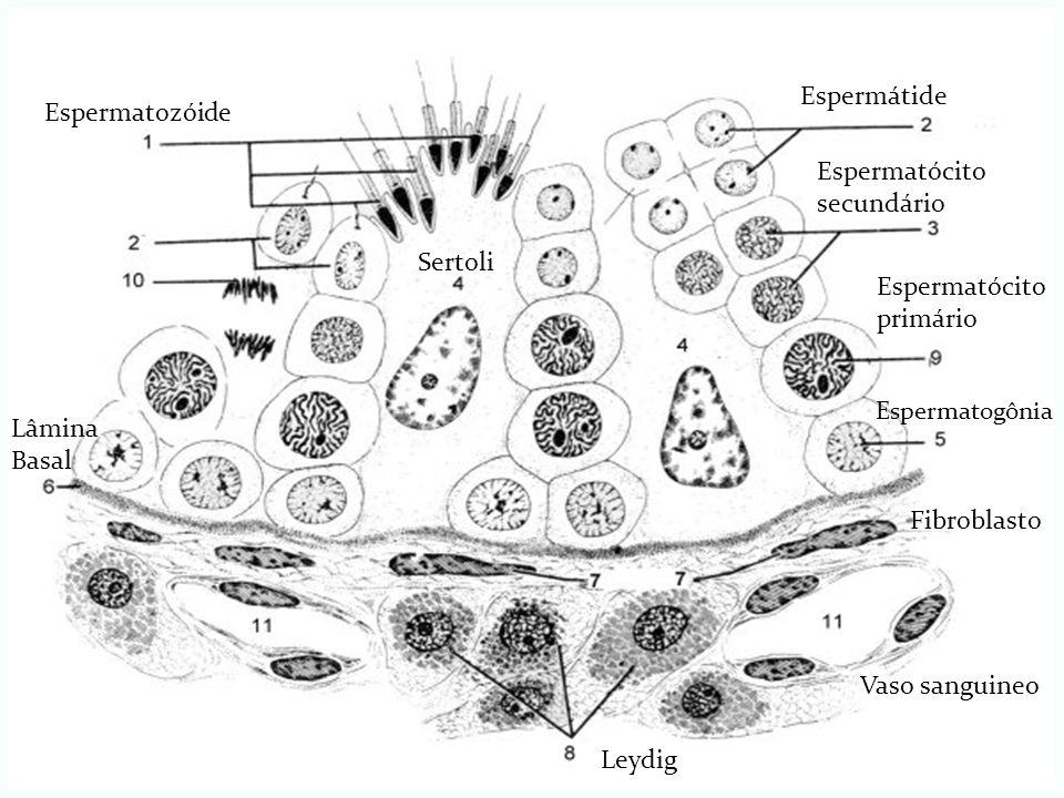 Espermatozóide Espermátide Espermatócito secundário Sertoli Espermatogônia Espermatócito primário Leydig Fibroblasto Vaso sanguineo Lâmina Basal