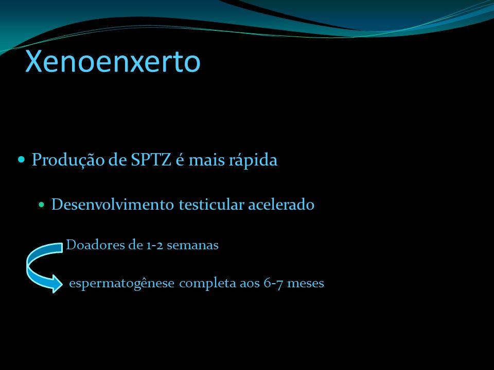 Xenoenxerto Produção de SPTZ é mais rápida Desenvolvimento testicular acelerado Doadores de 1-2 semanas espermatogênese completa aos 6-7 meses