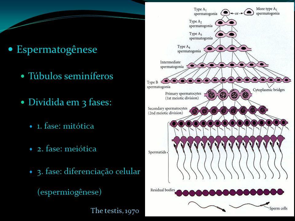 Espermatogênese Túbulos seminíferos Dividida em 3 fases: 1. fase: mitótica 2. fase: meiótica 3. fase: diferenciação celular (espermiogênese) The testi